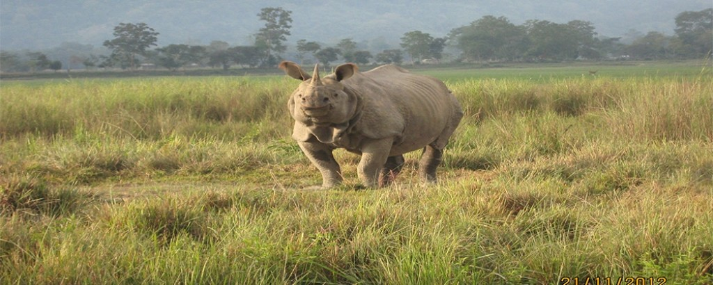 Assam\'s Pride - One Horned Rhino